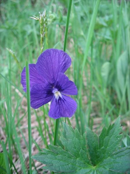 Фиалка душистая (лат. Viola odorata).