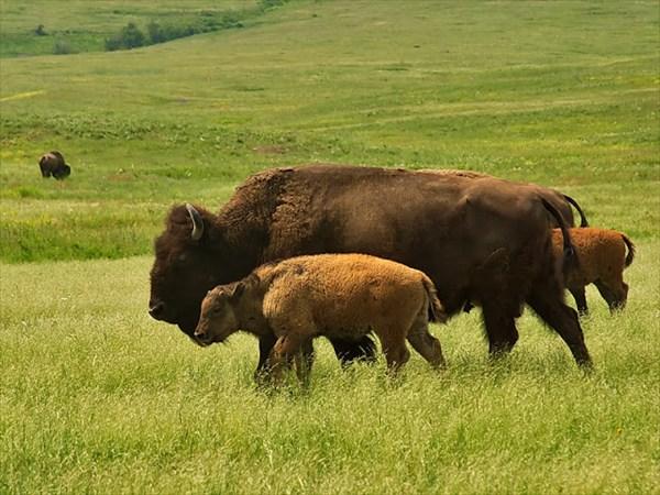 Бизоны в Национальном парке Вуд - Буффало