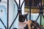 Шафшаунская кошка