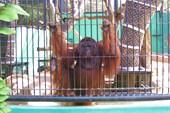 А это орангутанг.