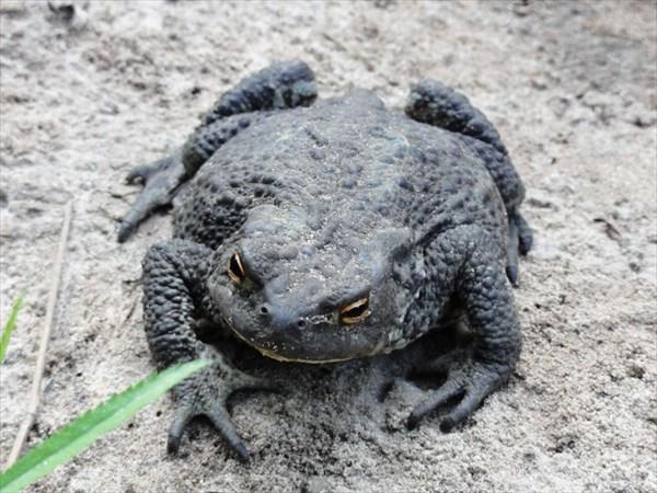 Красавица жаба.