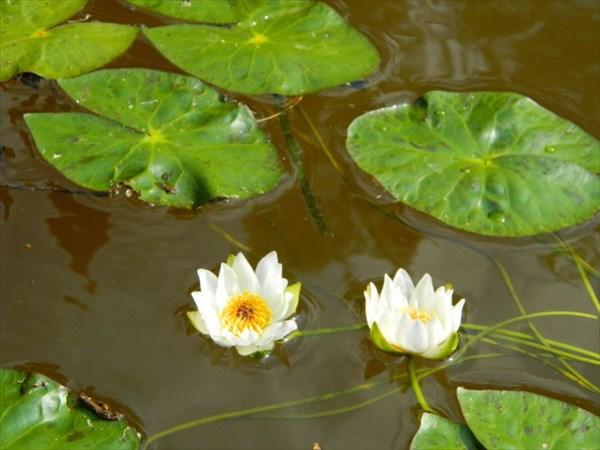 Царственные белые лилии.
