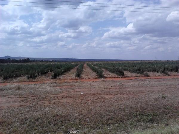 Плантации агавы