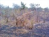 У жирафа шкура пятнами...