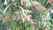 На дереве манго можно увидеть и цветы, и плоды