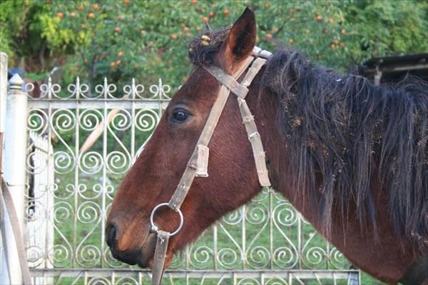 лошадь, а за ней хурма