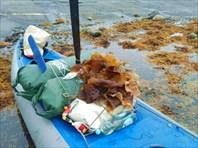 Улов морской капусты