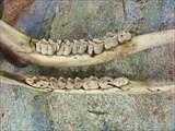 Лосиные зубы
