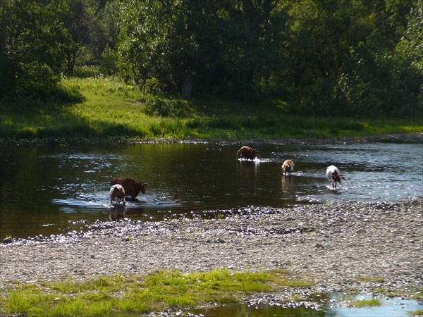 Коровы бродят Инзер