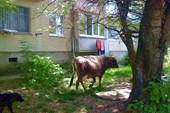 красивая корова