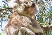 В нацпарке Great Otway, коала