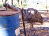 Страус эму в аборигенском центре Narana