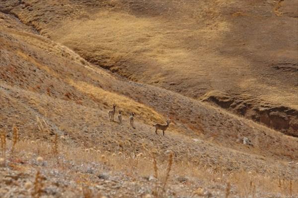 Горные козлы ещё ближе - Тундук