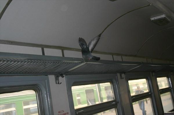 голубь в вагоне