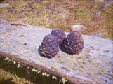 Орешки... Зеленые пока еще...