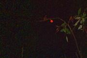 Ягодка-луна