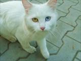 Белоснежная кошка с разноцветными глазами! Добрый знак!