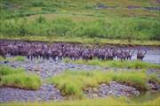 Олени на реке Бол. Кара