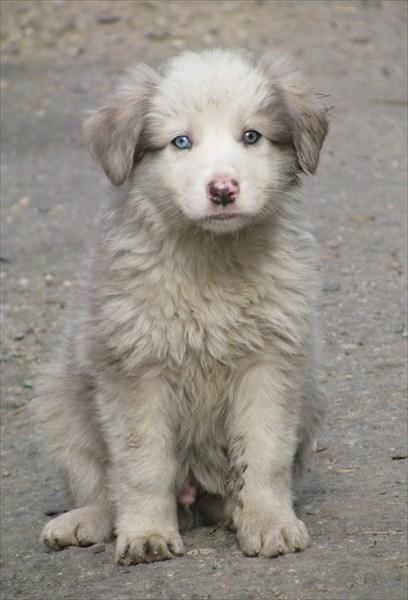 Чудо-щенок с разноцветными глазами
