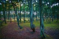 """Танцующий лес"" на Куршской Косе."