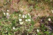 Горные цветочки