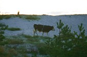 местный рогатый скот