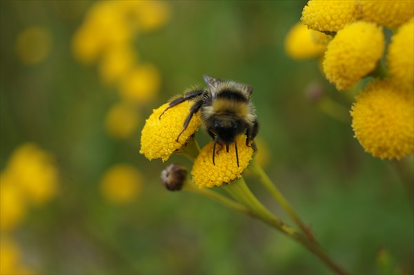 Полярная пчела на полярном цветке