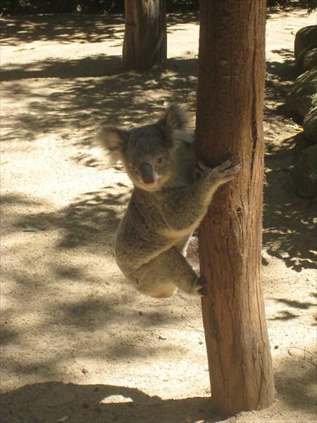 Переход коалы с дерева на дерево занимает полчаса