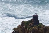 Аисты, гнездящиеся на скалах.