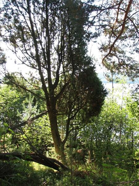 Можевеловое дерево