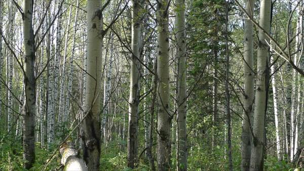 Лес... просто лес