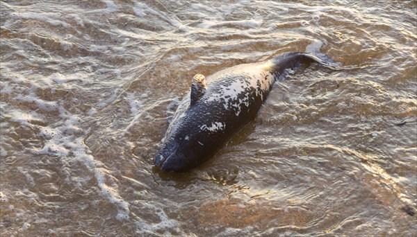 Должно быть это молодой мёртвый дельфин?