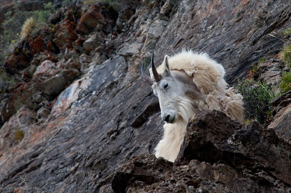 Горный козёл (mountain goat)