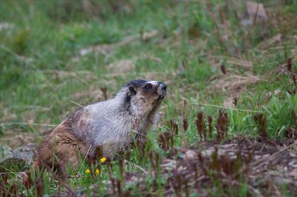 Сурок (Marmot)