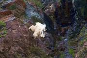 Горный козёл (mountain goat)