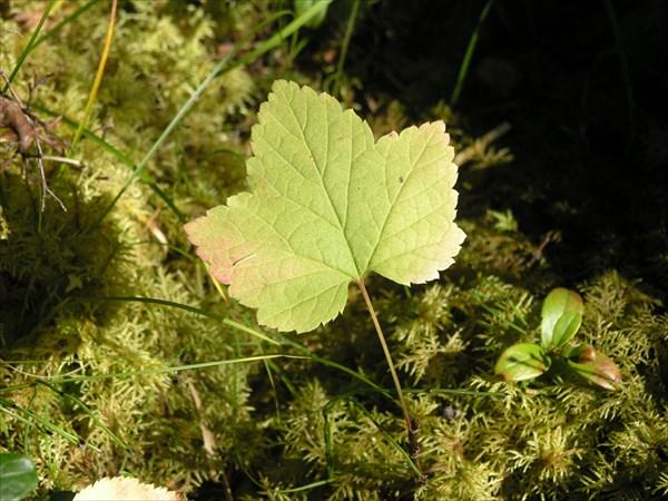 Смородиновый лист.
