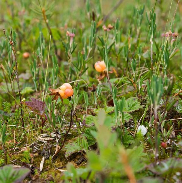 Нашли болото со спелой морошкой