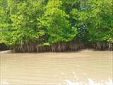 Это деревья семейства ризофоровых - подвид мангров.