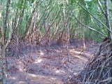 Мангровые леса.