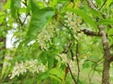 В конце мая цветет черемуха