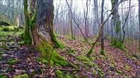 Замшелые деревья