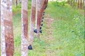 Каучуковая плантация