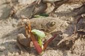 Песочная лягушка