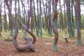 `Танцующий лес`. По одной из версий - там аномальная зона