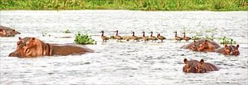 Бегемоты на Ниле