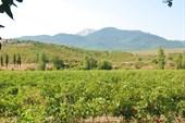 Виноградник на спуске к Алуште