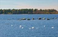 В мае много лебедей