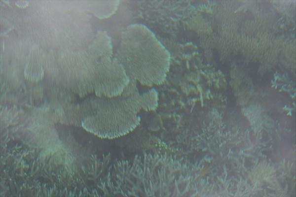 Коральчики