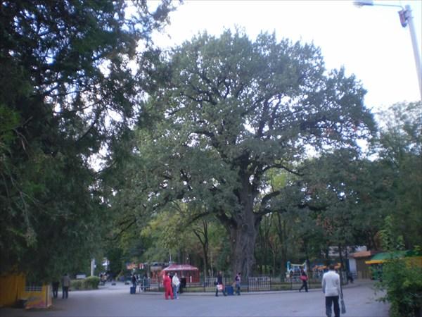 Вековой дуб. Детский парк.
