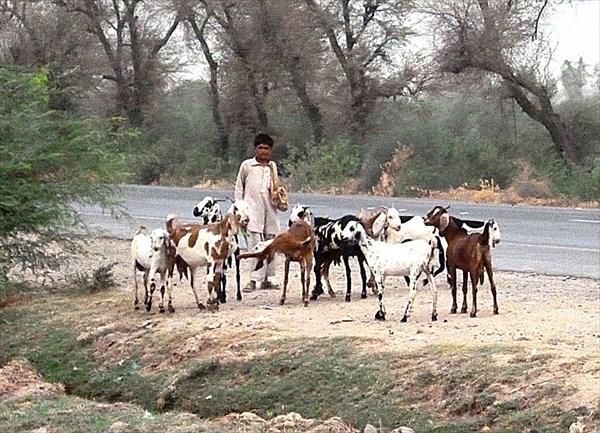 Выращивается много коз
